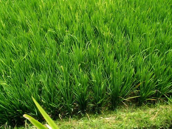 Убуд , рисовые поля