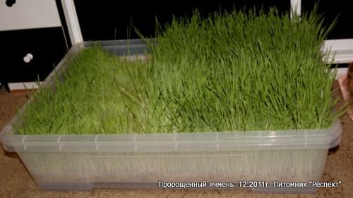 Проращивание ячменя в домашних условия