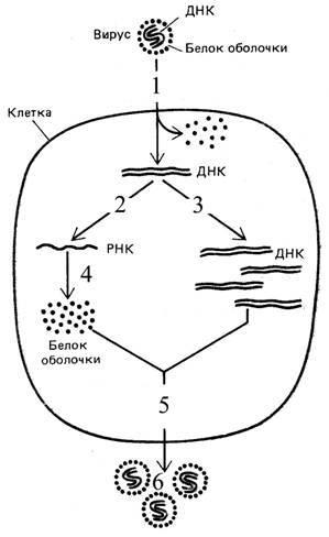 Рассмотрите схему жизненного цикла вируса. ыход из клетки дочерних вирусных частиц, проникновение в клетку и...