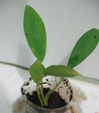 Растения для террариумов, палюдариумов, флорариумов и т.п. I-484