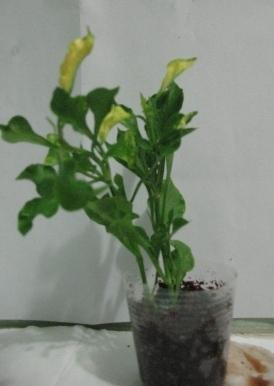 Растения для террариумов, палюдариумов, флорариумов и т.п. I-485