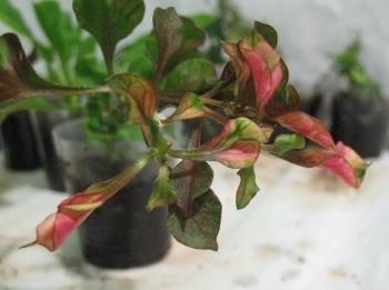 Растения для террариумов, палюдариумов, флорариумов и т.п. I-486