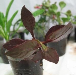 Растения для террариумов, палюдариумов, флорариумов и т.п. I-488