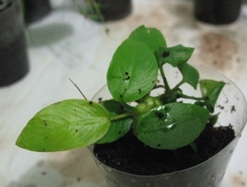 Растения для террариумов, палюдариумов, флорариумов и т.п. I-489