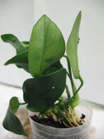 Растения для террариумов, палюдариумов, флорариумов и т.п. I-490