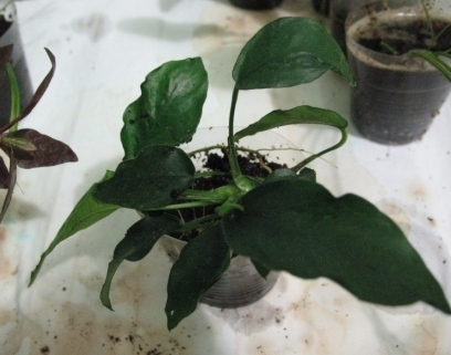 Растения для террариумов, палюдариумов, флорариумов и т.п. I-492
