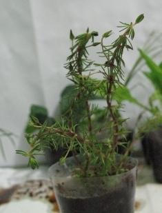 Растения для террариумов, палюдариумов, флорариумов и т.п. I-494