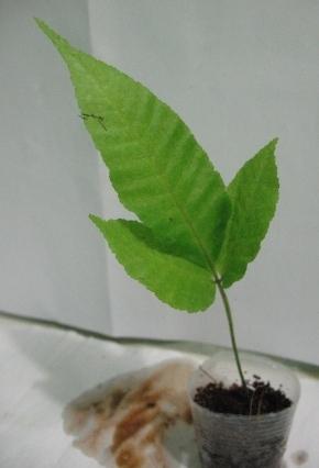 Растения для террариумов, палюдариумов, флорариумов и т.п. I-496