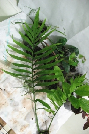 Растения для террариумов, палюдариумов, флорариумов и т.п. I-497