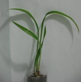 Растения для террариумов, палюдариумов, флорариумов и т.п. I-498