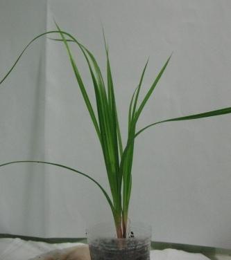 Растения для террариумов, палюдариумов, флорариумов и т.п. I-499