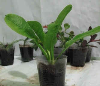 Растения для террариумов, палюдариумов, флорариумов и т.п. I-501