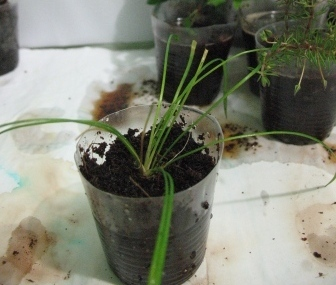 Растения для террариумов, палюдариумов, флорариумов и т.п. I-503
