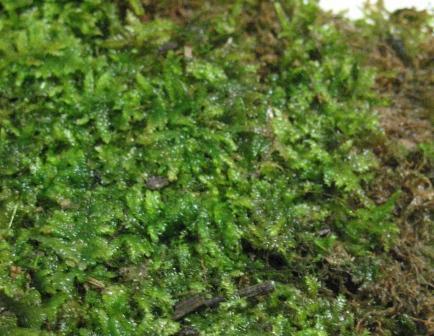Растения для террариумов, палюдариумов, флорариумов и т.п. I-507