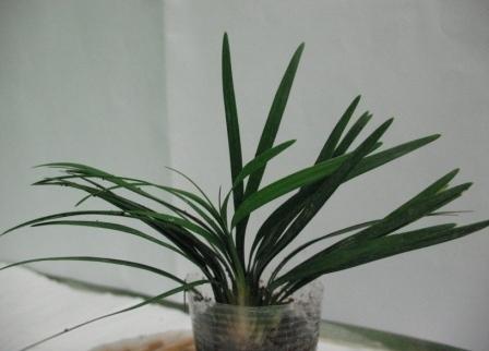 Растения для террариумов, палюдариумов, флорариумов и т.п. I-512