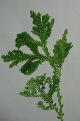 Растения для террариумов, палюдариумов, флорариумов и т.п. I-515