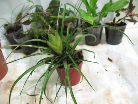 Растения для террариумов, палюдариумов, флорариумов и т.п. I-518
