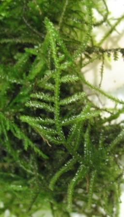 Растения для террариумов, палюдариумов, флорариумов и т.п. I-520