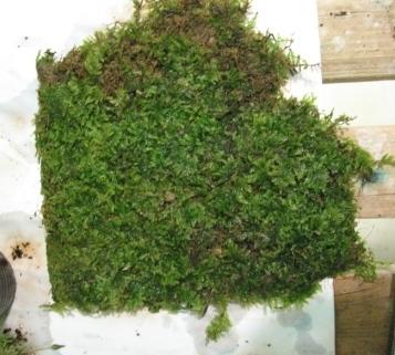 Растения для террариумов, палюдариумов, флорариумов и т.п. I-523