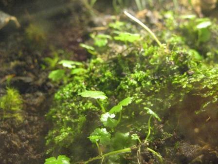 Растения для террариумов, палюдариумов, флорариумов и т.п. I-525
