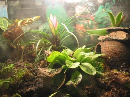 Растения для террариумов, палюдариумов, флорариумов и т.п. I-526