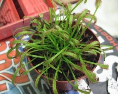 Растения для террариумов, палюдариумов, флорариумов и т.п. I-530