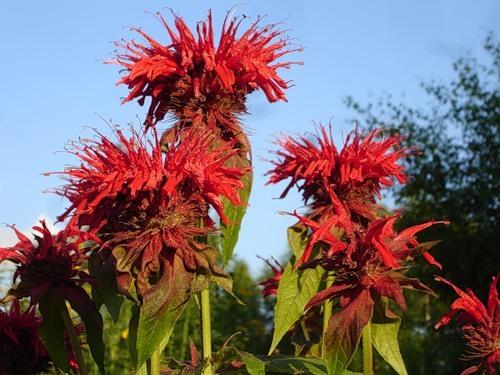Цветок червона рута фото