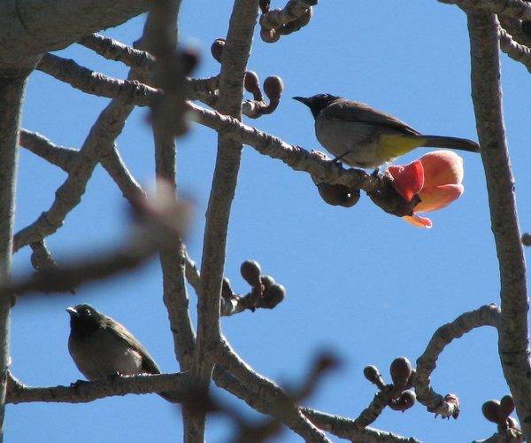 птицы с хохолком фото и птенцы жако ростовская область.