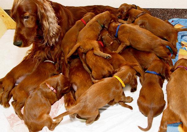 Снится собака рожает