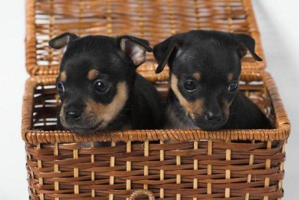 Сколько щенков рожает