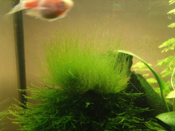 Как вырастить водоросли для аквариума в домашних условиях 51