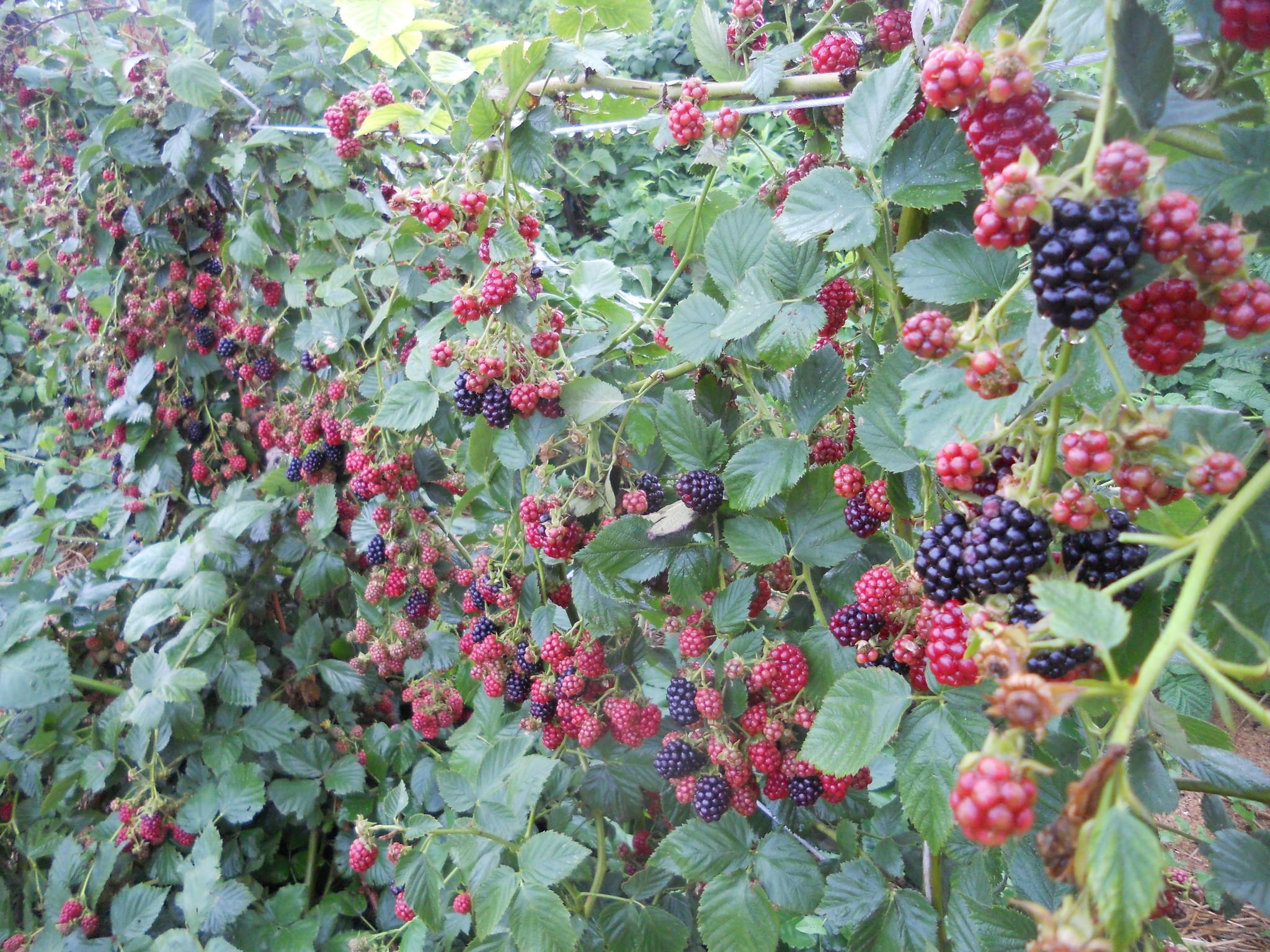 Ежевика гигант выращивание и уход 82