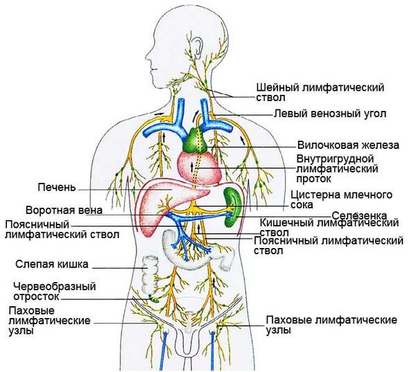 Иммунная система пpедотвpащает пpоникновение в оpганизм всевозможных виpусо