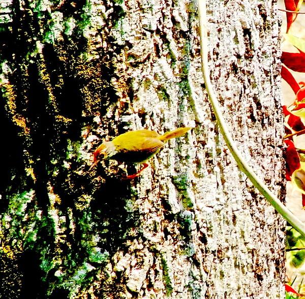 Обыкновенный портной.Orthotomus sutorius