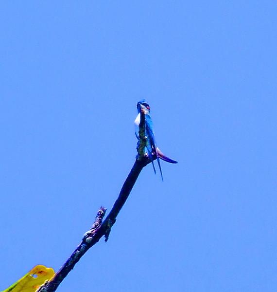 Хохлатый древесный стриж. Hemiprocne longipennis