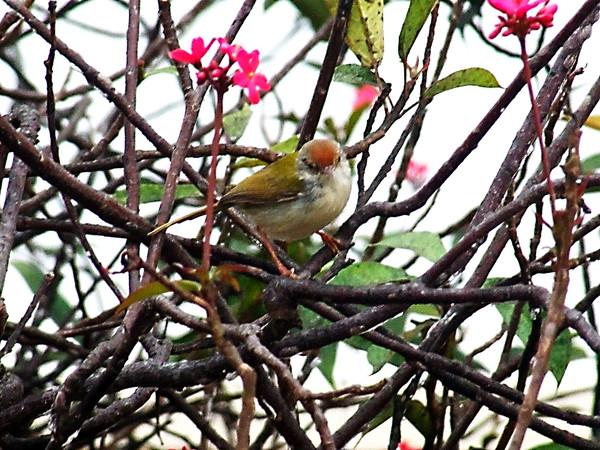 Обыкновенный портной. Orthotomus sutorius (Common Tailorbird)