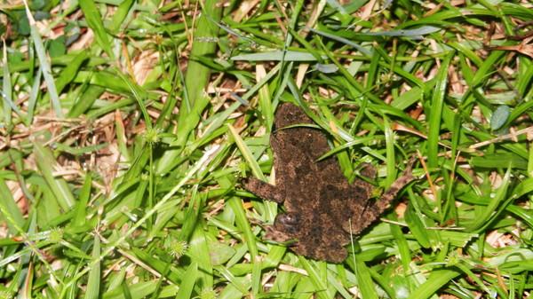 Длинноногая стройная жаба или хаба-песочные часы. : Leptophryne borbonica