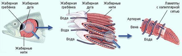 Жабры рыб Газообмен у рыб происходит при помощи специальных дыхательных органов - жабр.