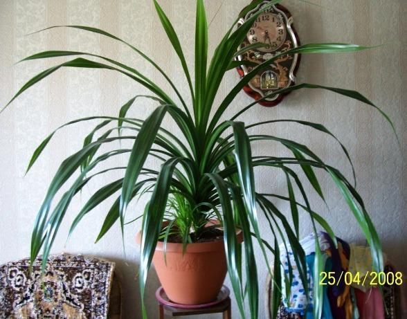 Как называется комнатное растение с