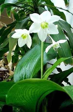 Аспидистра фото с цветками