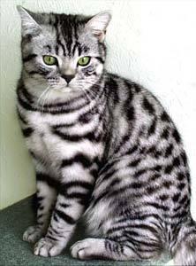Какой породы котенок в рекламе вискас