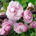фото красиво-цветущие садовые деревья и кустарники - цветы Луизеания (Миндаль трехлопастный) розовые...