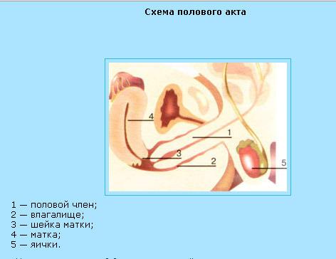 polovoy-akt-animatsiya