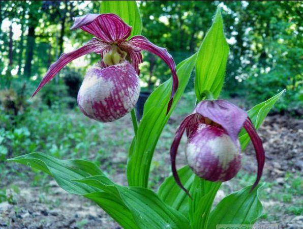 уход за орхидеей в домашних условиях с воздушными корнями