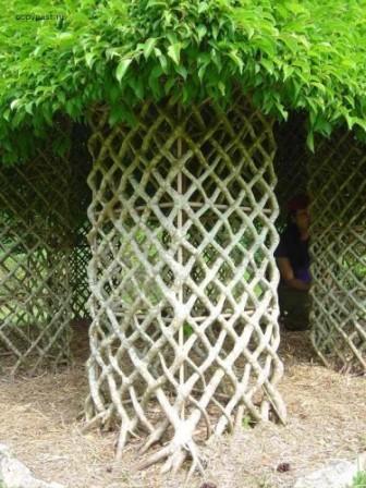 Витые.  Арбоскульптура - это искусство плетения живых растений в причудливые формы.