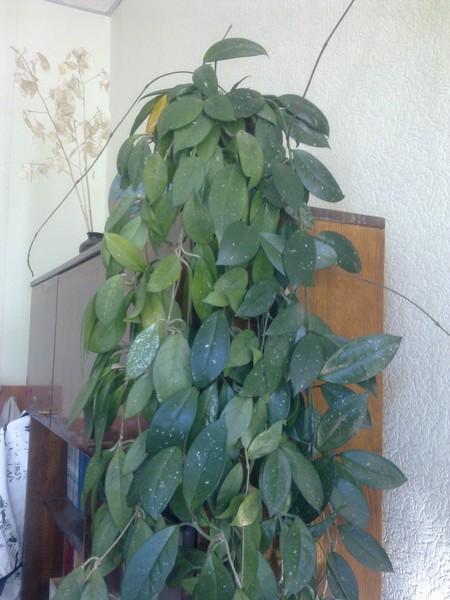 Определить комнатное растение