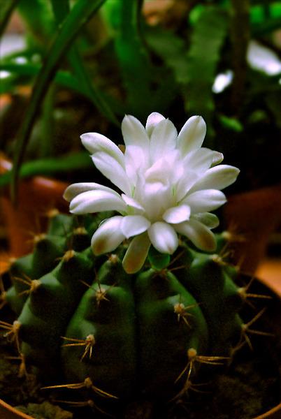 Комнатные цветы и уход за ними драцена
