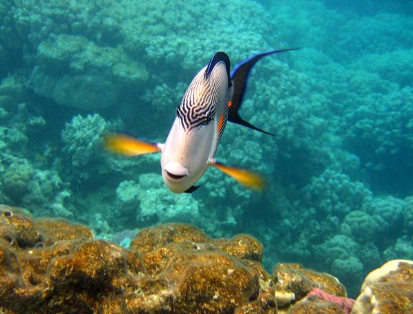 Уточните, тот или не тот вид рыбки (хирург-сохал).  Если хирург, то атакует обычно вот этот