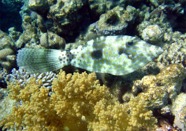 ...причудливых рыб, рыбин и просто рыбок Красного моря.