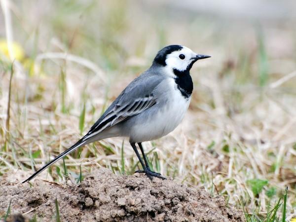 черно белая птица картинка